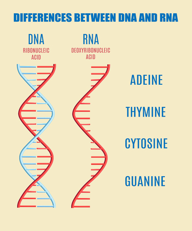 Vector difference between DNA and RNA molecule and subunits - adeine, thymine, cytosine, guanine. Helix spiral with genetic code. Molecular biology studies concept. Biotechnology science, education