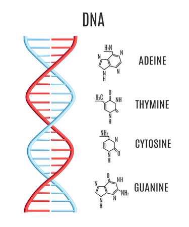 Vector DNA molecule with chromosomes and subunits - adeine, thymine, cytosine, guanine. Helix spiral with genetic code. Molecular biology studies concept. Biotechnology science, education design
