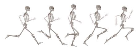 Esqueleto humano de vector en movimiento. Ejecutando el cuerpo humano en diferentes etapas. Maqueta científica y anatómica para la educación. Cráneo, huesos en acción sobre fondo aislado. Ilustración de vector