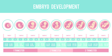 Infographic with stages of pregnancy and embryo, fetus development. Months, trimesters of pregnancy, embryo and fetus growth and weight . Vector illustration, flat infographic.