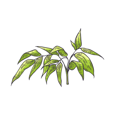 Bamboo branch with green leaves in sketch style isolated on white background - hand drawn vector illustration of traditional asian bambu zen plant for natural floral design. Ilustração