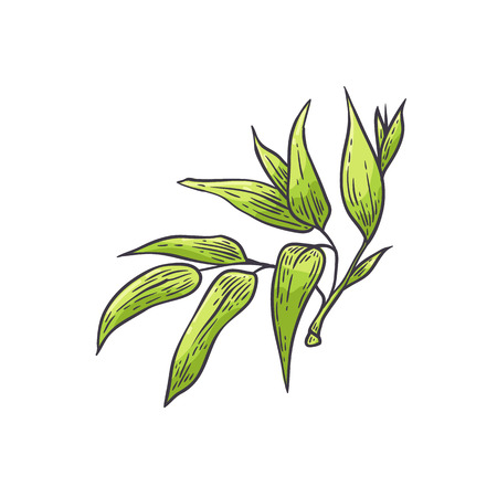 Bamboo green leaves - vector illustration of traditional asian bambu zen plant in sketch style. Hand drawn foliage isolated on white background for oriental natural floral design.