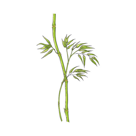 Bamboo stick with green leaves in sketch style - hand drawn vector illustration of chinese or japan traditional stalk with foliage isolated on white background for natural floral design.