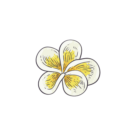 Plumeria vector illustration in sketch style - beautiful white and yellow open frangipani bloom isolated on white background. Tropical flower - element for natural floral design.
