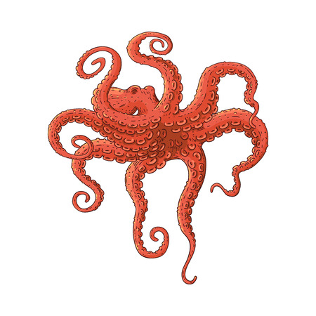 Red octopus swimming underwater in dramatic pose, vintage cartoon style hand drawn realistic sea animal isolated on white background. Vector illustration.