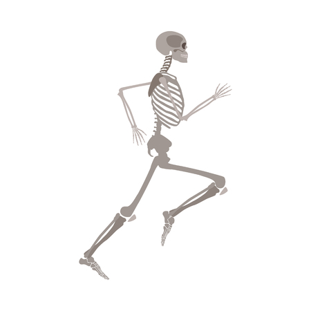Anatomy of human body skeleton in running pose flat vector illustration isolated on white background. Halloween party or medical design template showing human bones in motion. 일러스트