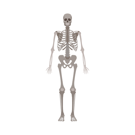 A human skeleton front view flat style vector illustration isolated on a white background. Halloween party and biological or medicine post design element.