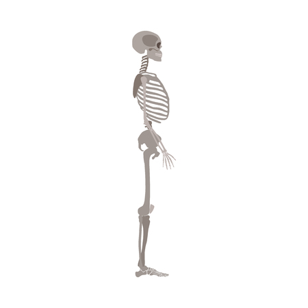 A human skeleton profile view flat style vector illustration isolated on a white background. Halloween party and biological or medicine post design element.