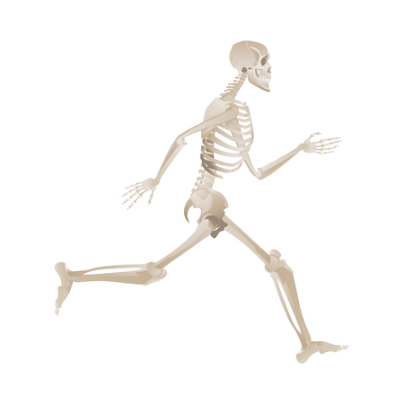 White skeleton running, human anatomy and side view of bones position when in full motion, reference for body movement - medical vector illustration isolated on white background Иллюстрация
