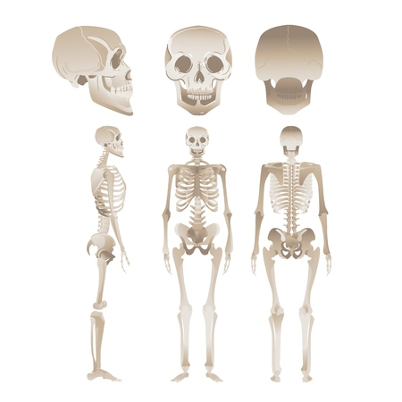 Set of white human skeletons - collection of medical anatomy models from different angles, positions of skull and bones of people. Vector illustration isolated on white background. Illustration