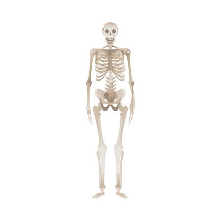 Scheletro umano bianco in piedi, il corpo della persona morta e le sue ossa. Illustrazione vettoriale isolato per scienza medica, biologia e anatomia. Vettoriali
