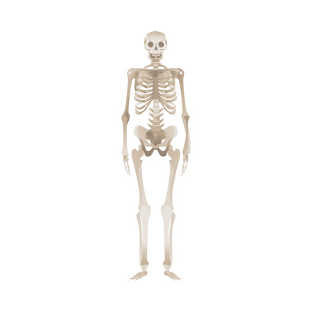 White human skeleton standing up, dead persons body and its bones. Isolated vector illustration for medical science, biology and anatomy.