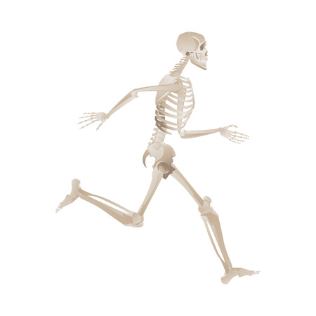 Human skeleton running fast and forward. Medical anatomy model with bent knee and lifted leg, bones position reference -vector illustration isolated on white background Ilustracja
