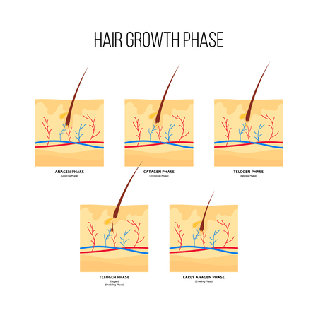 Human hair growth stages scheme flat style, vector illustration isolated on white background. Diagram of hair follicles in anagen and catagen and telogen phases, anatomical medical infographics
