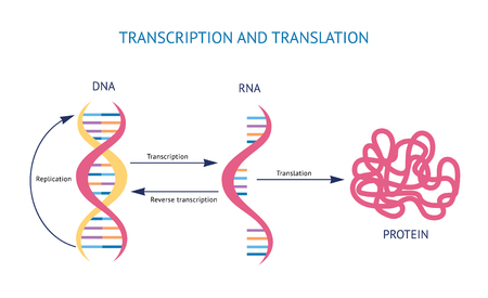 Ilustración de vector de transcripción y traducción de ADN y ARN de modelo biológico científico aislado sobre fondo blanco. Estructura genética en espiral para conceptos educativos. Ilustración de vector
