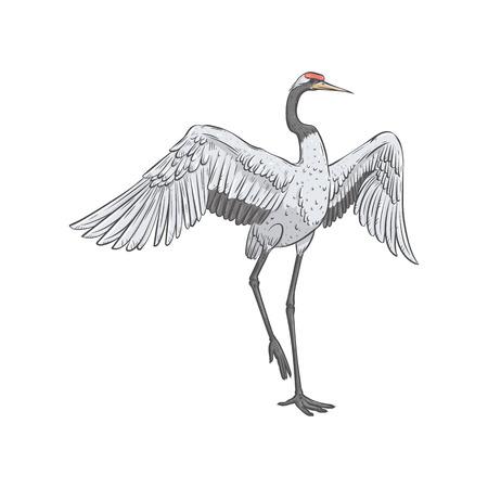 Rot-gekrönter Kran steht auf einem Bein mit ausgebreiteten Flügelskizzenart, Vektorillustration lokalisiert auf weißem Hintergrund. Vorderansicht des handgezeichneten, natürlich tanzenden japanischen Vogels