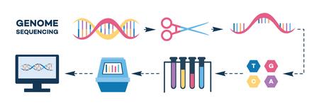 게놈 시퀀싱 단계 플랫 스타일의 인포 그래픽, 흰색 배경에 고립 된 벡터 일러스트 레이 션. DNA 사슬 종결 방법 또는 염기서열 검사의 단계