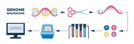 Infographics of genome sequencing stages flat style, vector illustration isolated on white background. Steps of DNA chain termination method or nucleotide sequence test Imagens - 128169946