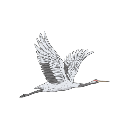 White Japanese crane flying away, beautiful hand drawn migrating bird on air during flight with wide wingspan and open wings, asian style vector illustration isolated on white background