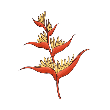 Hawaiian bird of paradise tropical flower in blossom vector illustration isolated on white background. Beautiful exotic summer plant hand drawn icon in sketch style.