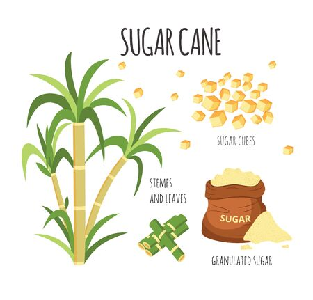Sugar cane hand drawn vector illustration set with sweet farm plant stalks and cubed and granulated sugarcane products, isolated agriculture graphic collection on white background