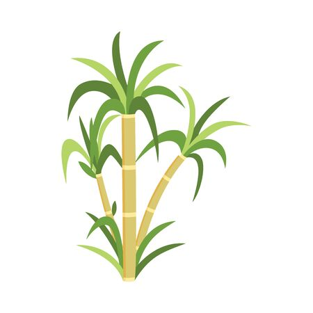 Sugar cane plant with green leaves - natural sugarcane plantation produce, natural agriculture food resource drawing isolated on white