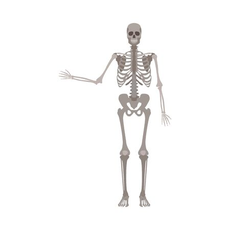 Skeleton of human body anatomically detailed with one hands bones up vector illustration isolated on white background. Medical, biological or halloween design element.