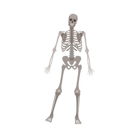 Squelette gris debout sur une jambe, modèle d'anatomie humaine pour la science médicale posant sur la vue de face, dessin de biologie réaliste isolé - illustration vectorielle sur fond blanc