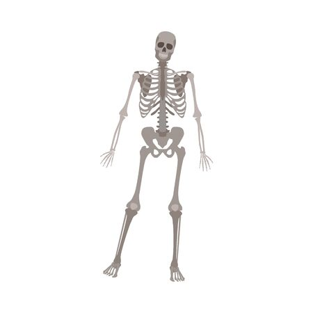 Grey skeleton standing on one leg, human anatomy model for medical science posing on front view, isolated realistic biology drawing - vector illustration on white background