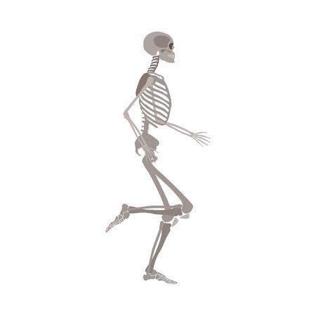 Seitenansicht des laufenden menschlichen Körpers anatomisch detaillierte Skelett-Vektor-Illustration isoliert auf weißem Hintergrund. Medizinisches, biologisches oder Halloween-Designelement. Vektorgrafik