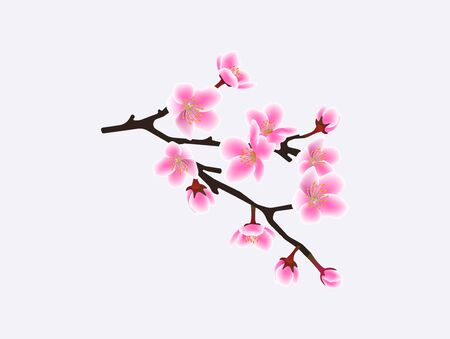 Sakura tree branch isolated on white background - beautiful pink cherry blossom flowers on black twig, realistic Japanese spring plant - vector illustration 일러스트