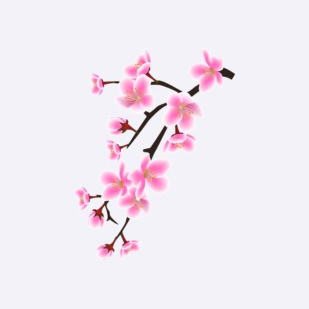 Japanese sakura or cherry tree blossom a branch with gentle pink flowers vector illustration isolated on white background. Flourish spring element for cards and package.