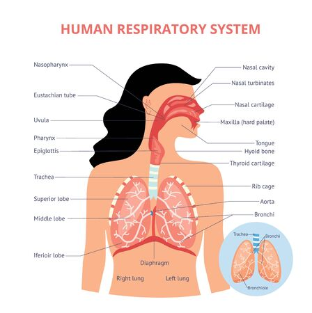 Respiratory system of human the anatomy of airways vector medical banner or placard illustration with names of breathing organs. Physiology educational diagram.