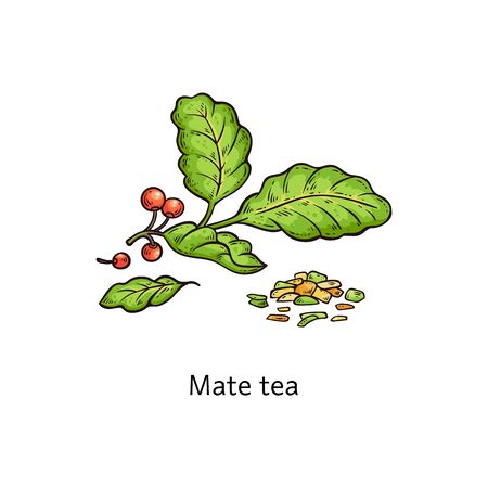 Mate tea leaves drawing isolated on white background - healthy herbal drink ingredient. Fresh and dried green plant branch with red berries - vector illustration  イラスト・ベクター素材