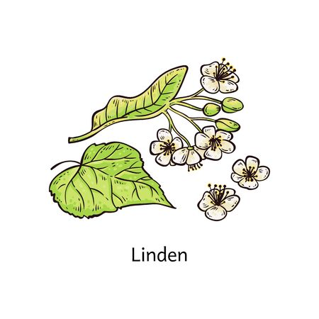 Natural linden sprig with leaves and beautiful blooming flowers vector illustration in sketch style isolated on white background. Medicinal plant for cosmetic and tea.