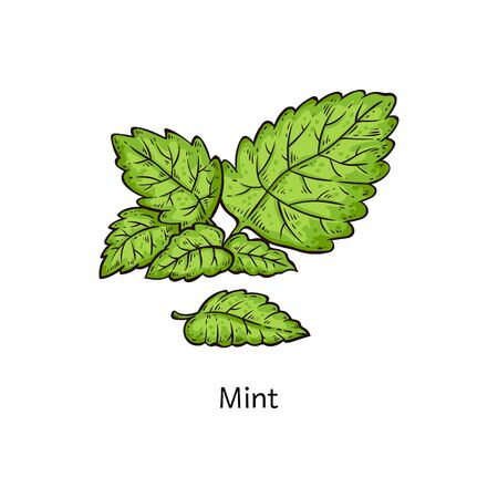 Mint leaf branch drawing isolated on white background, fresh green peppermint leaves in hand drawn cartoon style - natural plant seasoning herb vector illustration