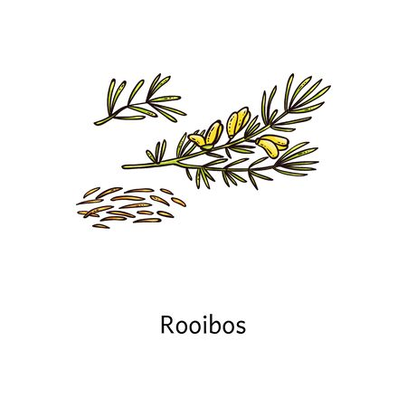 Rooibos plant drawing with fresh green leaf and steeps twigs and dried loose tea, simple isolated hand drawn vector illustration of healthy cartoon flower Banco de Imagens - 128948015