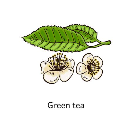 Green tea natural leaves with flowers, sketch doodle vector illustration isolated on white background. Icon of plant for preparing healthy organic tea drink.