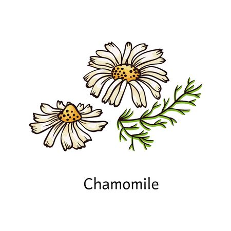 Chamomile flower drawing in hand drawn sketch style with color, two daisy flowers isolated on white background - simple floral nature themed vector illustration