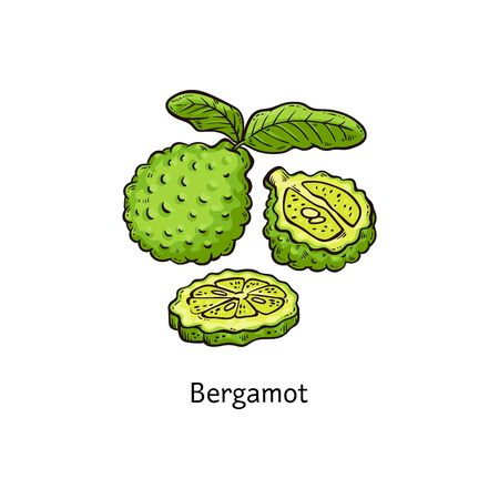 Bergamot fruit isolated drawing - whole and sliced hand drawn green citrus plant with leaves, simple colorful sketch cartoon style vector illustration