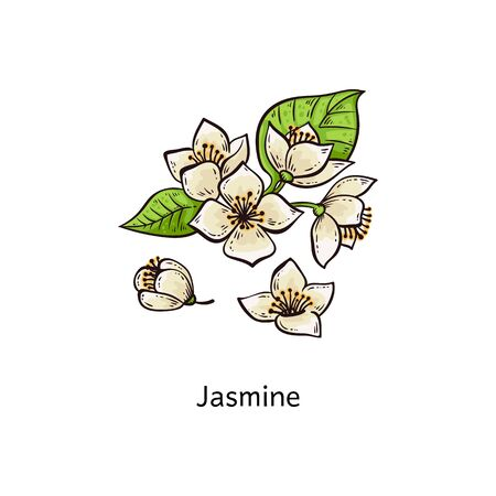 Jasmine drawing set - hand drawn white flower with green leaves, in a branch or as small separate buds - isolated floral design vector illustration on white background