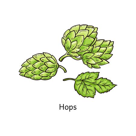 Hops plant drawing - green blossoming hop flower and leaves in hand drawn cartoon style isolated on white background, botanical vector illustration