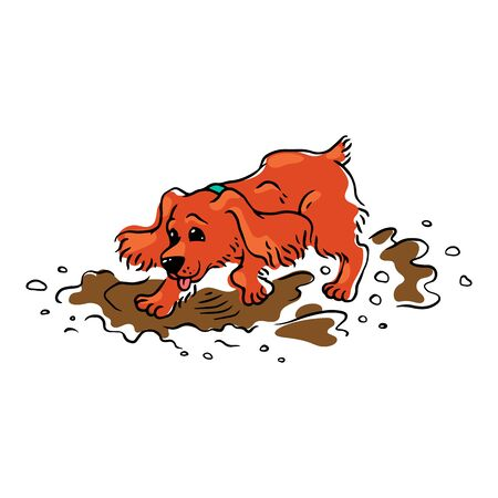 Funny brown spaniel dog runs and jumps through the mud and puddles.