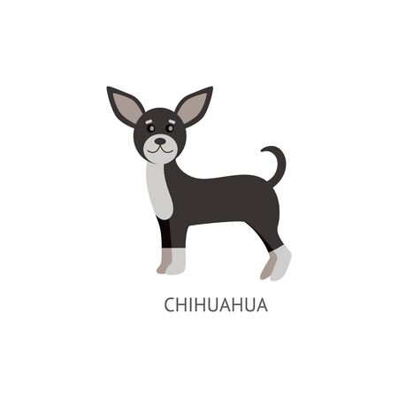 Cute decorative dog of breed Chihuahua of black and white coloring standing flat cartoon vector illustration isolated on white background. Funny purebred puppy pet.