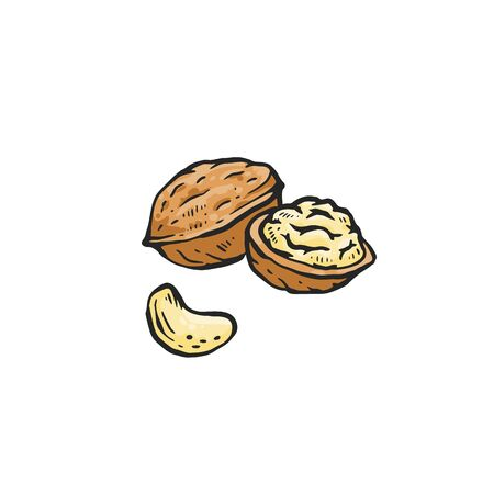Brown walnut drawing isolated on white background - whole and cut in half raw nut for healthy nutrition. Hand drawn sketch food vector illustration.