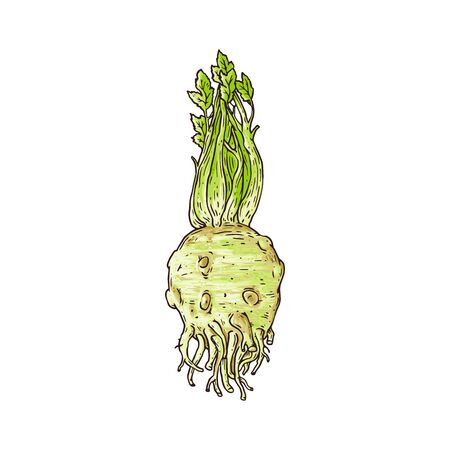 Whole celery root plant isolated on white background, hand drawn sketch drawing of healthy raw vegetable for food seasoning - flat vector illustration 写真素材 - 133493608