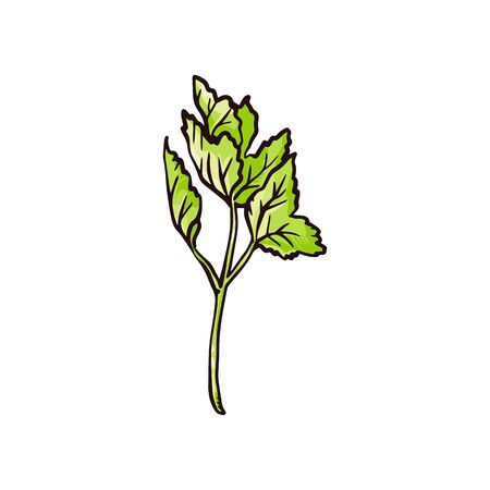 Green celery leaves drawing - hand drawn cooking ingredient for food garnish or fresh seasoning. Simple leaf plant twig isolated on white background - vector illustration.