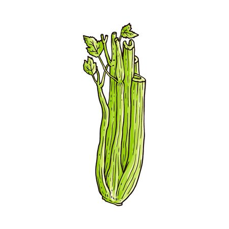 Green celery stalk drawing isolated on white background - healthy hand drawn vegetable with fresh leaves and cut up stem. Flat simple vector illustration.  イラスト・ベクター素材