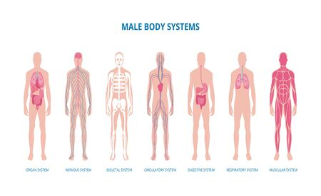 Male body system infographic set including skeleton, muscles and structure of internal organs, flat vector illustration isolated on white background. Medical banner. Ilustrace