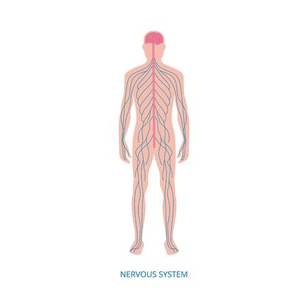Nervous system - cartoon diagram of male human body nerves structure with blue nerve line network running along spinal cord from brain. Isolated flat vector illustration.  イラスト・ベクター素材